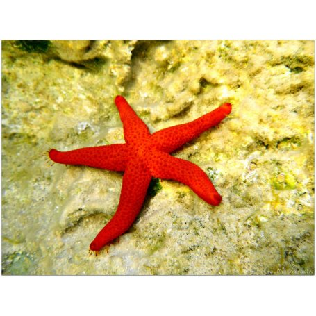Starfish Red (Estrella Roja P)