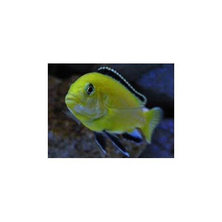 Ciclido Limon, Labidochromis Sp Amarillo