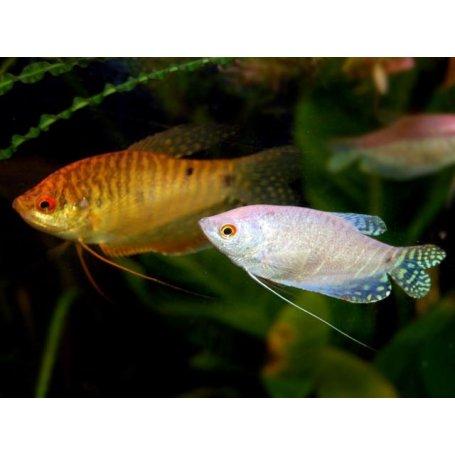 Gurami Surtido -Trichogaster 6-7Cm