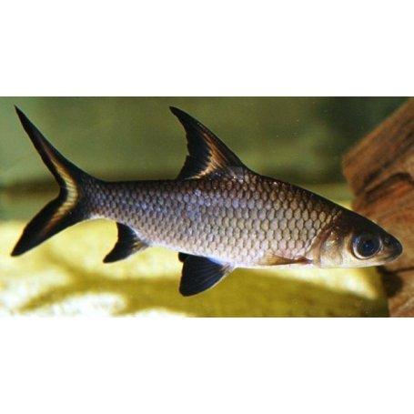 Tiburon Bala (Balantiocheilus Melan)