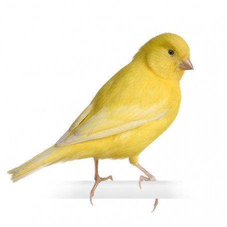 Canario Surtido Amarillo