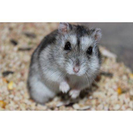 Hamster Ruso- Phodopus Sungorus