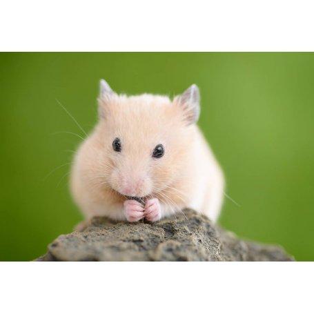 Hamster Comun