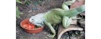 Comida para iguanas