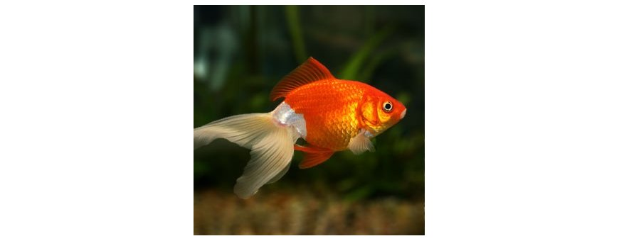 Comida peces agua fria