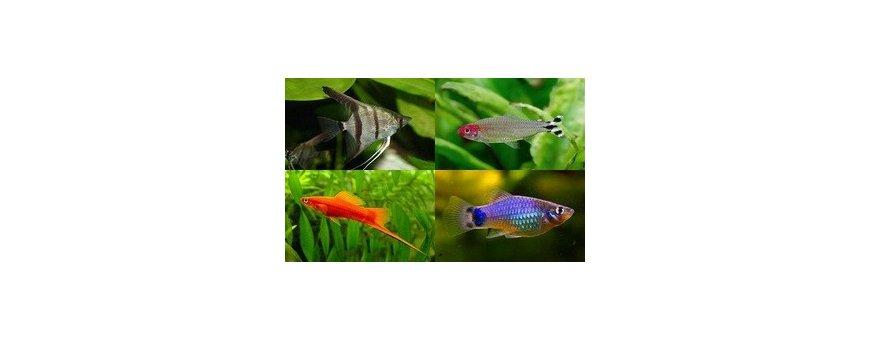 En nuetra sección de peces tropicales, encontrarás una presentación de los peces de agua tropical