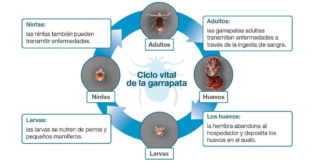 ciclo de las garrapatas