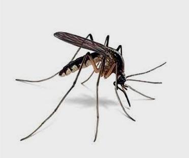 mosquito trasmisor de la leishmaniosis