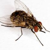 mosca del establo en perros