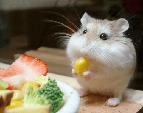 lo basico es la comida para hámster especial, pero tambien se le puede proporcionar pequeños premios para hamster.