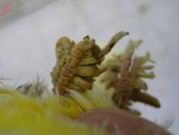 Patas con Costas de Acaros (sarna)